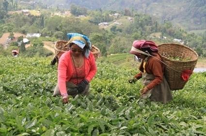 Nepalas - ypatingų juodųjų arbatų namai